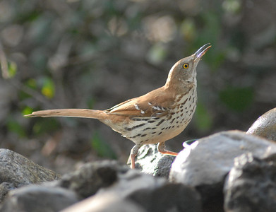"Brown Thrasher at the ""drip."" Cabrillo National Monument 4-27-07"