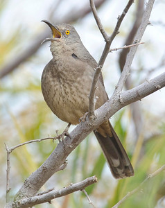 Curve-billed Thrasher Imperial Valley 12-3-10