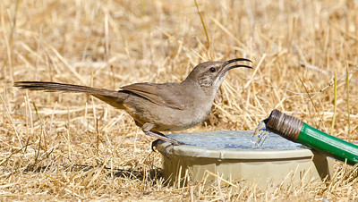 California Thrasher Jacumba 5-12-12