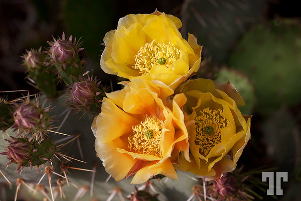 Cactus flowers in Dolan Springs