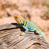 Collared Lizard in Fruita, Colorado.