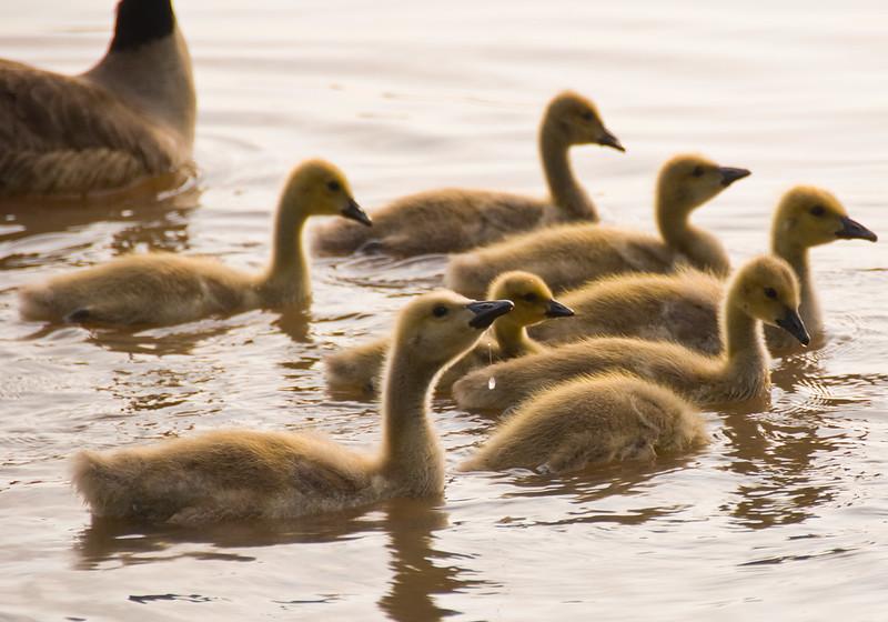 Geese in the Arkansas River, Tulsa, Oklahoma