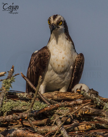 The Osprey Photography By: The Cajun, Lloyd R. Kenney III ©2014 All Rights Reserved. Email: lloydkenneyiii@gmail.com