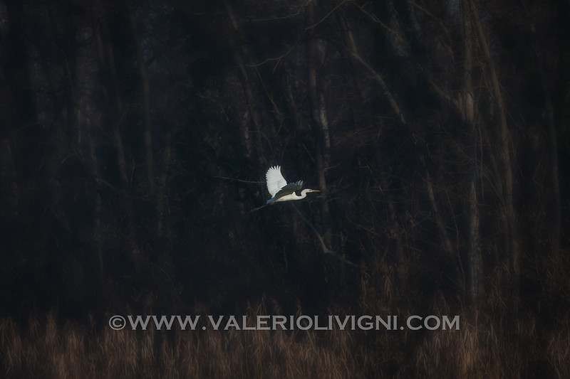 Great white eron (Great egret or Ardea alba) by the road to the Butterflies Trail - Parco del Ticino, Molino del Conte