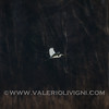 Great white eron (Great egret or Ardea alba) by the road to the Butterflies Trail - Parco del Ticino, Molino del Conte