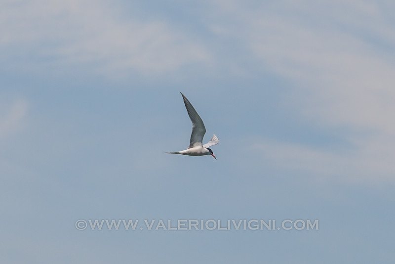 Bird flying on the Ticino river at Ayala oxbow lake - Parco del Ticino, Vigevano