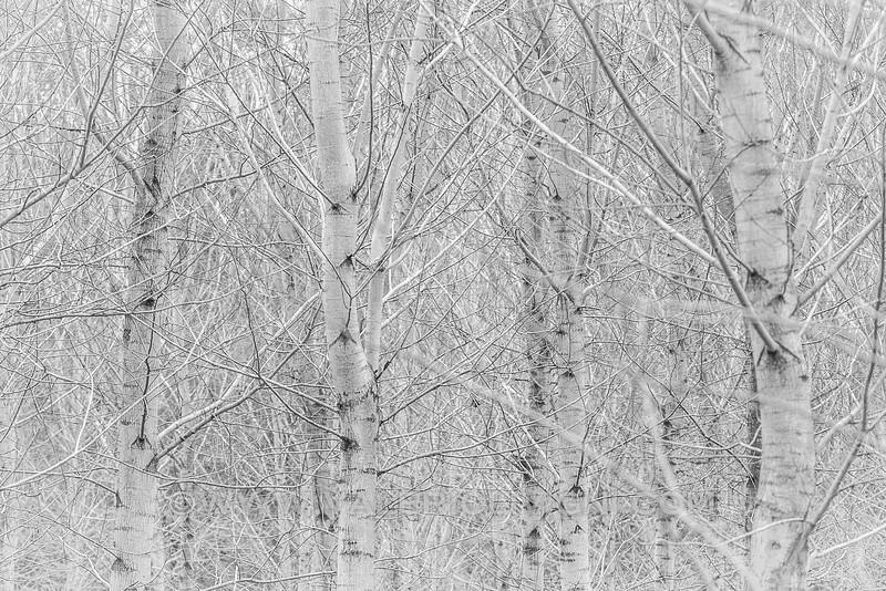Trees at Strada dei Pozzi - Parco del Ticino, Vigevano
