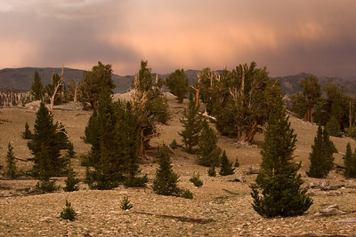Pre-storm light show at sunset over Patriarch Grove