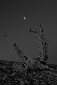A bristlecone pine snag, still reaches out for the moon.