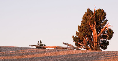 Domino-like trunks of an ancient bristlecone greeting the gentle morning light- inspite of adversity, this one looks nice and strong.