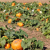 We love the pumpkin patch here in our small town.  They have a Fall Festival with hay rides, corn and hay mazes, John Deere tricycle races, cake walks, moon bounces, petting zoo, and lots more!    This is what we love about living here.