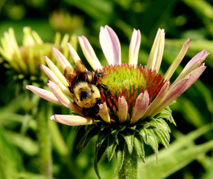 """""""Bee in Bloom""""<br /> This busy bee was hoping for some early pollen, even before the bloom in Bloomington was open!"""