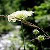 Beautiful glowing Queen Anne's Lace or Daucus Carota glows in the midday sun with the Upper Clackamas River in the background. <br /> Running like crazy today...late posting..but I like the simplicity of this pic