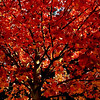 Fiery Autumn Leaves<br /> One of the first pics from my new iphone...8mg camera and 1020 video<br /> Where do they put it?