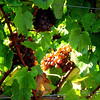 Grapes in the late summer sun.<br /> At harvest time<br /> Near Silverton, Oregon