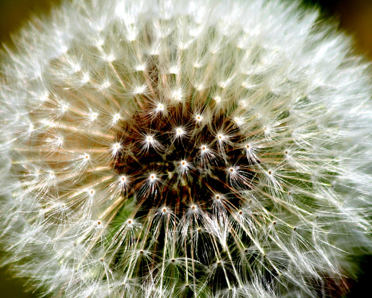 """Just dandy""<br /> I love the way the sun is glinting off each individual spore. Best viewed in a larger size. This close up gives character & beauty to the lowly Dandelion.<br /> For Tracey and her girls! <br /> Thank you all for the lovely comments. You are all very kind!"