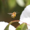 I caught this pollen laden bee zipping away from the Peony.<br /> The sun is out, the bees are out , it must be spring!