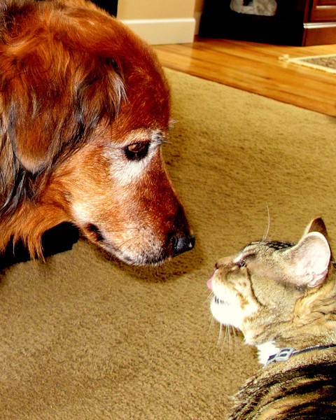Not sure what the conversation was about here..but it looks as if Snickers is sticking his tongue out at Cinnamon..I think C was checking in to see if Snick had been raiding the frig..only in a fur peoples world! Have a lovely happy, rainy in Portland day!