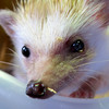 This is Margo the African Hedgehog from the Oregon Zoo...She and her sister put in a personal appearance at Zoolala on Saturday night..She was quite determined to get out of her box and escape but her human kept her in check..What would a hedgehog do in Portland anyway? They are about 6 inches long with short quills that feel like nylon..Smile Margo!<br /> Thank you all for the great comments...keeps me thinking about new challenges...