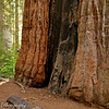Who's that peeking out from that Giant Sequoia in Calaveras Big Trees State Park? Sequoia's are truly amazing trees!