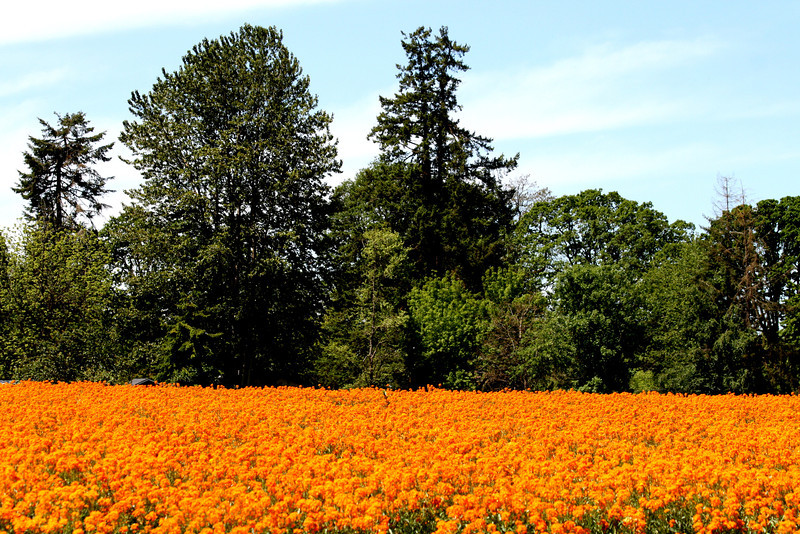 As we were driving about in the country last weekend we came upon this field of Siberian Wallflowers..They are a glorius bright orange and contrasted with the dark green of the firs really stand out. Have a great Sunday!