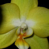 The yellow orchid is still going strong, I find trying to get the bright yellow a bit difficult and is seems best under the flash at dark. The underlying green always wants to pull through..but this one glistens..very unusual flowers orchids..Thank you to all for your awesome comments on the vet...Love the works of art.<br /> Have a Great week.