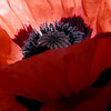 Somedays the light's just right, the color is beautiful and we happen to be there with a camera ready to go...<br /> This close up of a poppy from Canon Beach seems electrified with the sun shining through it's petals. The purple blue inside is a crazy color don't you think...Best seen large<br /> Canon Beach is fairly warm for the Oregon coast so they have many types of beautiful flowers growing up close to the little shops. Makes a beautiful town!