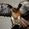 Red Tailed Hawk, Oregon Zoo Education Bird<br /> Stretching his wings a bit..and looking gorgeous!