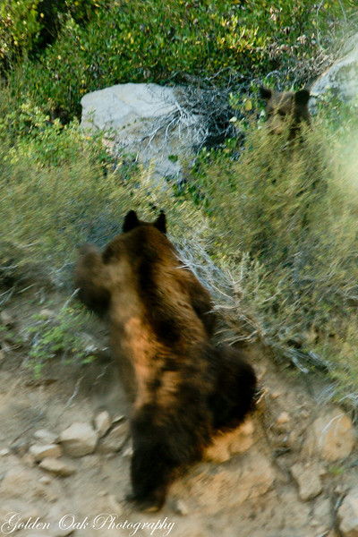 "As we were coming home from Lake Tahoe, suddenly a head pops out and then after giving me the eye..a big bear runs across the road as I scramble to grab my camera..Only after we got home I noticed the second bear hiding in the rocks wating..That wall was almost verticle and she went flying up..<br /> ""Bear Run"""