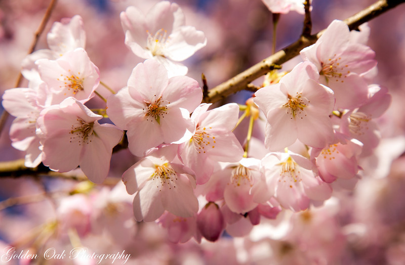 The weather and the cherries are really gorgeous in the Northwest right now! Love the soft light on these blossoms! Happy Easter, happy Spring!