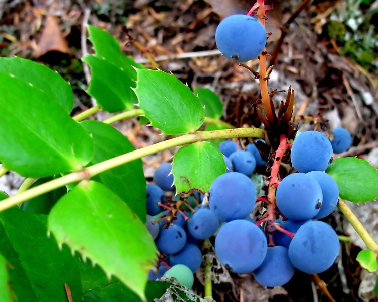 While hiking up by Mt St Helens this past weekend we passed these amazing forest blueberries..love the color!<br /> Thanks for the nice words on the Teton's one of my Favorite places...I have too many favorites my husband says!<br /> But fav's are just like shoes, a girl can never have toooo many!