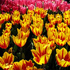 Tulips seem to glow in the warm Oregon sun at the Wooden Shoe Tulip Festival...April 2011