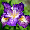 This lovely purple Iris was solitarily sitting among some weeds on the street. The colors and beauty are very striking. Had some sun yesterday, now back to rain......