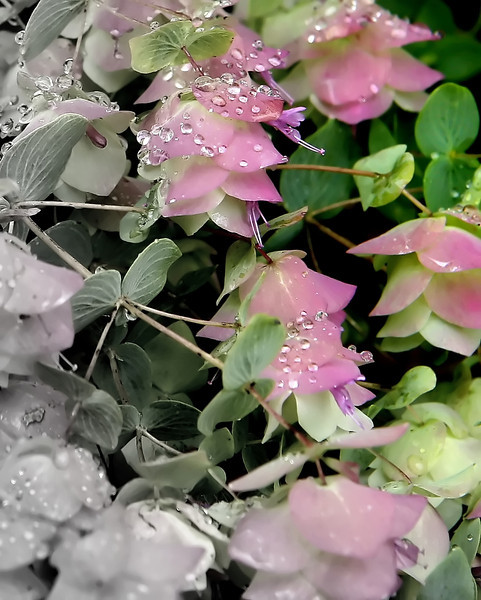 The delicate beauty of this  ornamental oregano with morning dew glistens under the soft sunlit sky. Using the focal bw defines the color...<br /> Origanum Kent Beauty