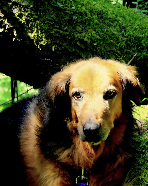 As we walked along a shady forested trail along the Uppler Clackamas river, the sun poked through the trees shining on the moss and on Cinn. Looking pretty good for a 14 year old shep/golden mix.