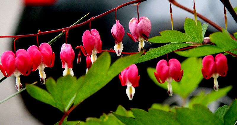 Spring is so late the bleeding hearts are very happy. This was near that lovely purple iris. The background is a car fender.<br /> Beauty can be found everywhere..