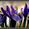 These beautiful irises look pretty as a picture..