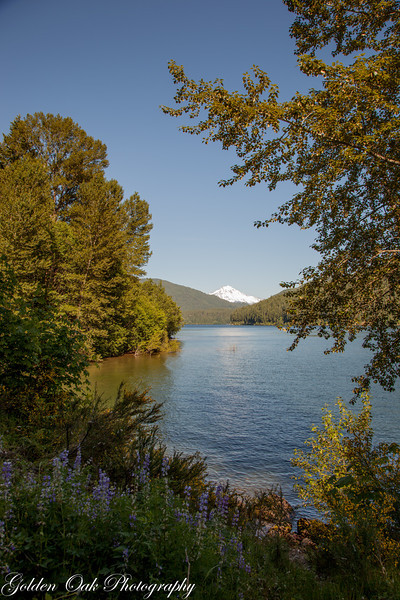Detroit Lake, with view of Mt Jefferson..and the lupines!. In the fall as the lake level goes down it exposes the old cut stumps from before the dam was placed. Great place for pictures!