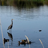 Blue Heron and wild ducks enjoying the sun in wetland area near Tigard, Oregon