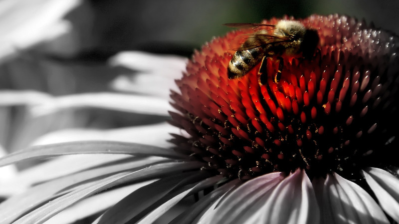 Using the focal BW I was able to concentrate on the orange in the echinacea. The bee looks golden as well..<br /> Thanks for the comments from last week..Another busy week for us with family in town, but always fun!