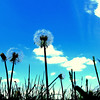 Looking up at the dandelion's from the grass perspective..not great on my allergies but hey things you do for a shot!<br /> My heart and prayers go out to all those impacted by the awful and powerful storms this week in the midwest.<br /> I do not know what you have been through but I know it will be better than before.