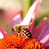 The bees are so happy that spring, or summer is finally here! They are all over the echinacea...Love the orange against the pinkish purple..<br /> Will be offline for a bit, probably won't get to post until next week...<br /> Happy Weekend everyone!