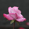 The morning rose<br /> Rained last night and the sun came out this am...caught this perfect pink rose in all it's dew.