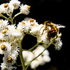 It's already August at the foot of Mt St Helen's, the bees need to get busy and store up for winter.