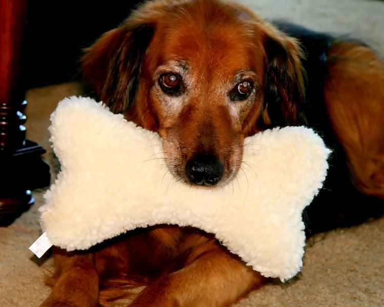 14 year old Cinnamon and her new bone pillow...She loves to play keep away..oh and every toy is hers...any questions! She is a retriever/shepherd mix that was a rescue..She loves to go hiking still and has lots of energy...<br /> Have a great Saturday