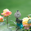 A little birdie told me so..<br /> After a brief shower this little crowned sparrow was preening on the rose post..I like the green grass blur behind him..Hope everyone had an amazing 4th..heading out to Silverton for breakfast..last full day of company...
