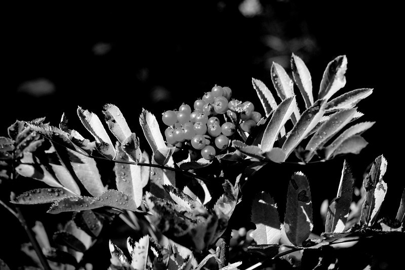 The light was shining just right on these amazing red berries...In BW the way the light plays on the leaves is highlighted best.<br /> Happy Sunday!