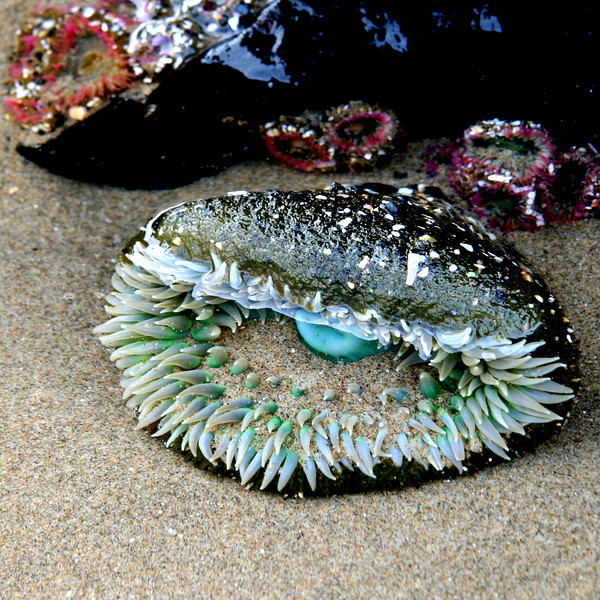 At Cannon Beach low tide at Haystack rock left lots of tidepools open for exploration. This beautifully colored anemone with his teal and peacock blue was striking against the babies behind.