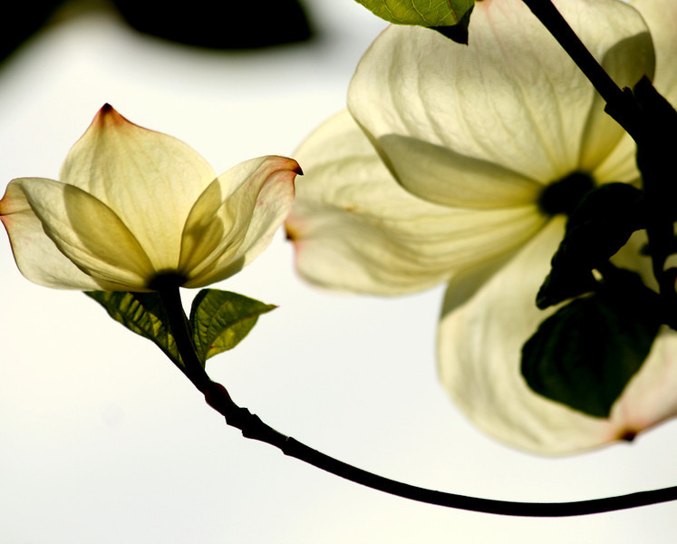 From under the dogwood.<br /> These flowers look so elegant and beautiful..