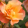 Beautiful Golden peach rose in the sun.